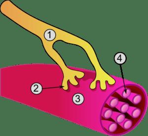 Synapse_diag3